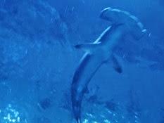 2015.01.25-072 requin marteau