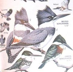kingfisher photo from bird book