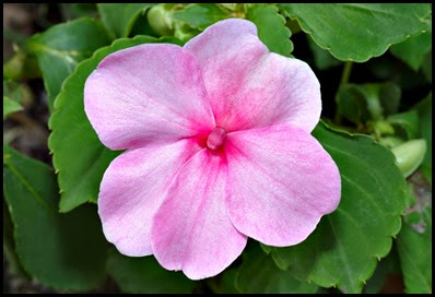 impatiens-walleriana8