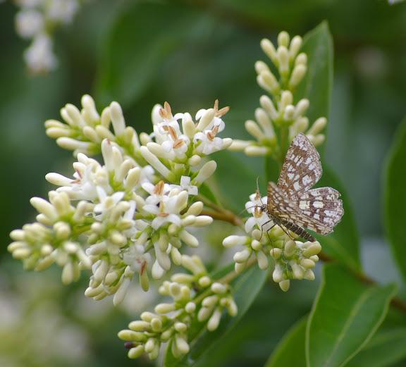Geometridae : Ennominae : Chiasmia clathrata (LINNAEUS, 1758). Les Hautes-Lisières (Rouvres, 28), 21 juin 2011. Photo : J.-M. Gayman