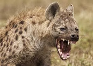 Amazing Pictures of Animals, Photo, Nature, Incredibel, Funny, Zoo, Hyena, Mammals, Alex (9)
