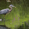 heron in green with purple.jpg