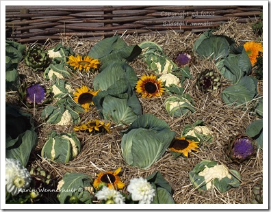 Blomkålosolrosor