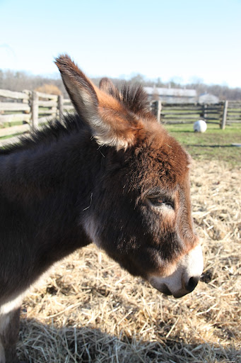 The profiles vary with different breeds of donks.  Miniatures have a slightly dished shape.  Isn't Rufus so cute?
