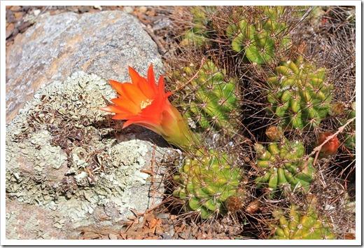 130428_UCBG_SpringSale_Echinopsis-maximiliana_105