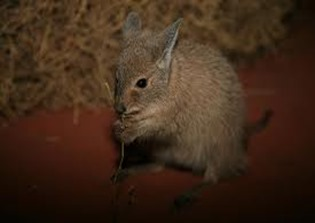 Amazing Pictures of Animals, Photo, Nature, Incredibel, Funny, Zoo, rufous hare-wallaby, (Lagorchestes hirsutus), Mammals, Alex (9)