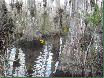 Big Cypress Swamp Hike (50)
