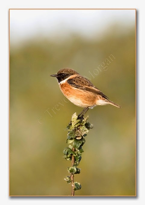 Local Birds 5  Stonechat  male 2