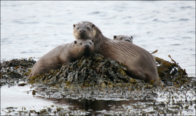 The Scottish otter has a lifespan just one third of its Continental counterparts, due to pollution in the ocean. Photo: Mike Merritt