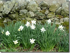 daffodils cottage bank
