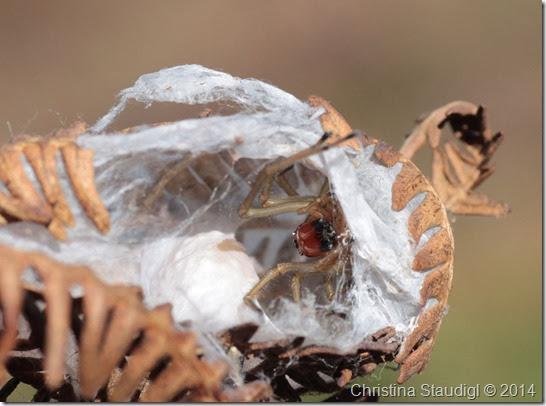 Dornfinger Weibchen mit Eiballen Cheiracanthium punctorium