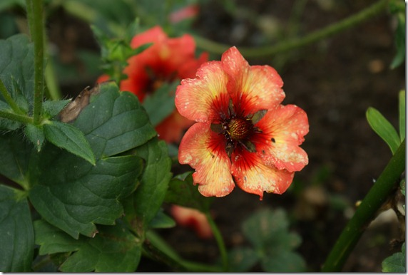 Potentilla `Melton Fire`