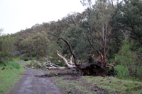 A gum tree uprooted after ferocious winds