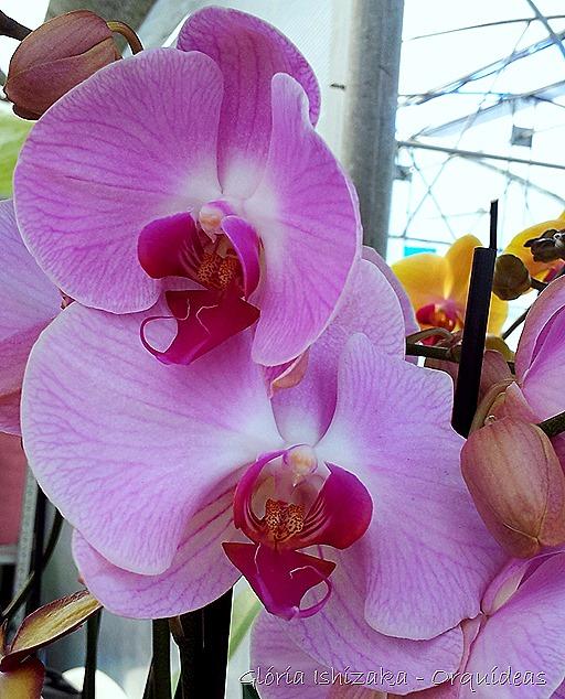 Glória Ishizaka - orquideas 2
