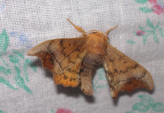 Bombycidae : Oberthueria caeca OBERTHÜR, 1880. Tigrovoy, 22 juin 2011. Photo : J. Michel