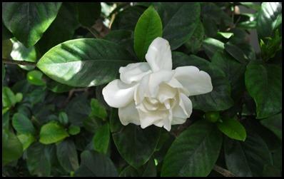 Gardenia3