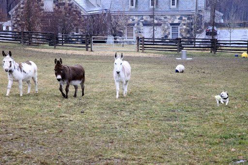 Franny, I'm in with the donks trying to get them to play tag!  Run, Billie!  Run, Rufus!  Run, Clive!  Come on, I want to play!