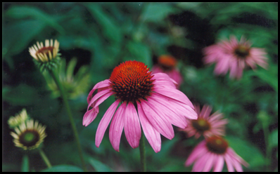 purple coneflower3