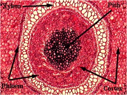 Amphiphloic siphonstele