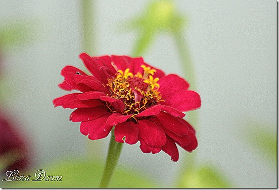 Zinnia_Red_Oct