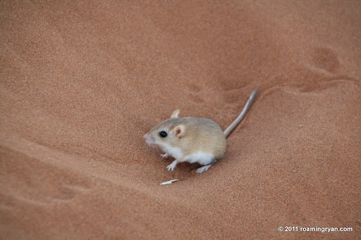 Dune Hairy-footed Gerbil (Gerbillurus tytonis) - white spots behind the eyes distinguish him from the standard Hairy-footed Gerbil