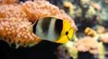 Polynésie poisson papillon d'Uliéta