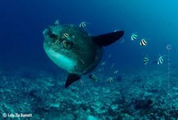 Amazing Pictures of Animals, photo, Nature, exotic, funny, incredibel, Zoo, ocean sunfish, Mola mola, or common mola, Alex (6)