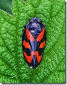 Froghopper Cercopsis vulnerata on nettle Croxall May 2014