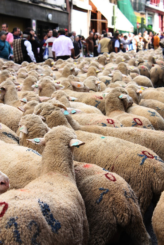 sheep-protest-6