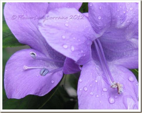 11-18-phil-violet2