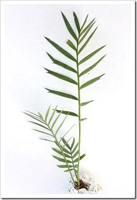 110212_Encephalartos-Longifolius-x-Horridus_01