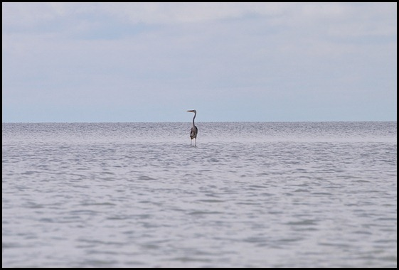 05 - Great Blue Heron in Shallow and Calm Florida Bay