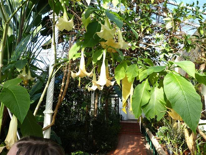 Ботанический сад в Бирмингеме, бругмансия