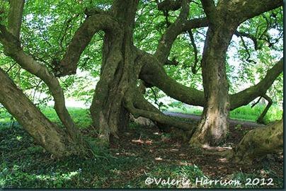 6-old-tree