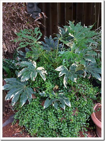 120523_Fatsia-japonica-variegata_01