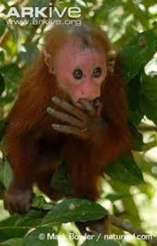 Amazing Pictures of Animals, photo, Nature, exotic, funny, incredibel, Zoo, Cacajao Calvus, Blad Uakari, Primate, Mammals, Alex (14)