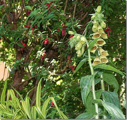 garden-foxglove-yellow-close-june08