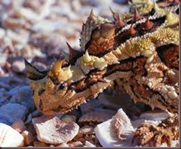 Amazing Pictures of Animals, photo, Nature, exotic, funny, incredibel Zoo, Horned lizard, Phrynosoma, Reptilia, Alex (4)