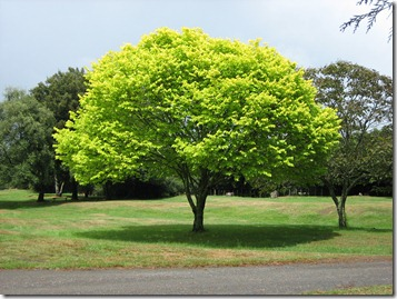 Bright_green_tree_-_Waikato