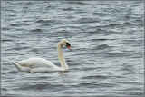 ein Schwan auf dem Mggelsee