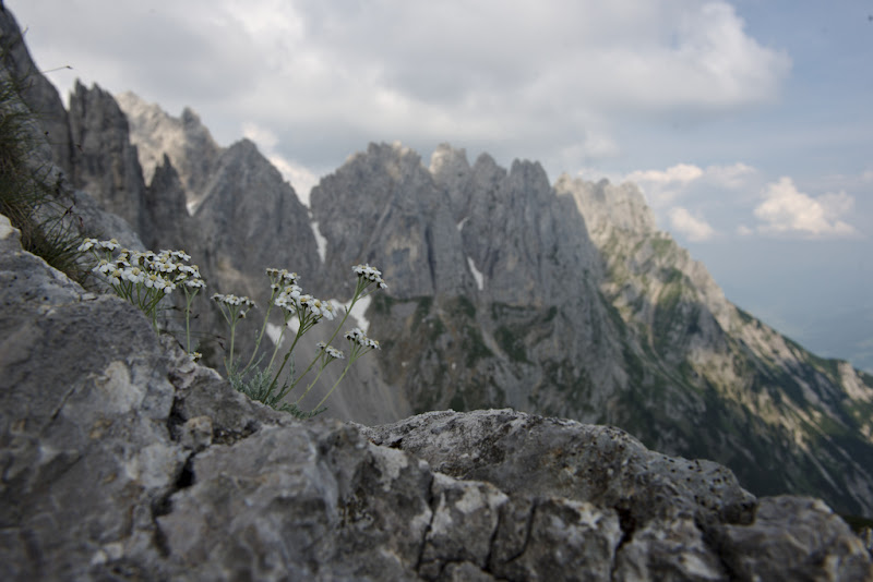 White flowers in a stone kingdom, Wilder Kaiser in Austria.