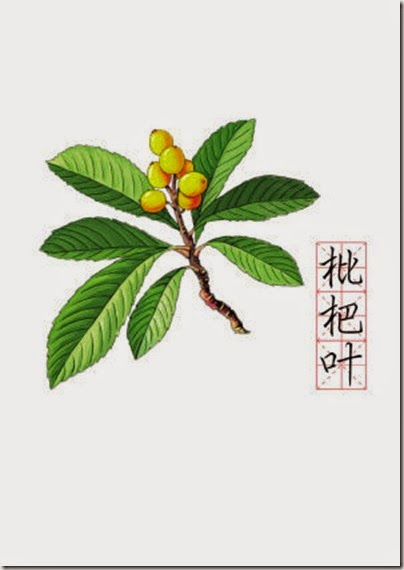 Pi Pa fruit & leave 枇杷果&葉 (tonghuashijie.net)