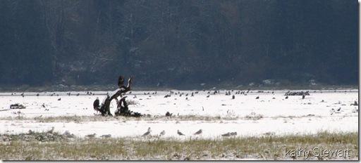 Eagles and Gulls