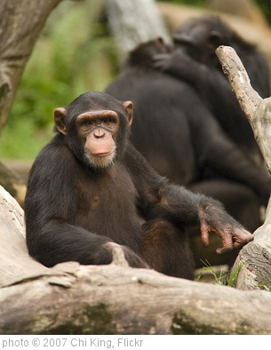 'Hello, Human... (SINGAPORE ZOO/CHIMPANZEE/ANIMALS/GREETING) VI' photo (c) 2007, Chi King - license: http://creativecommons.org/licenses/by/2.0/