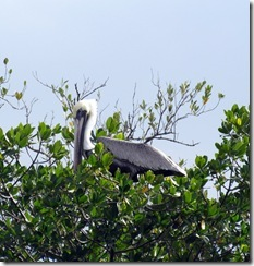 Pelican in the mangroves
