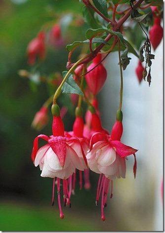 flores-facebook-tumblr-rosas-las flores-fotos de flores-777