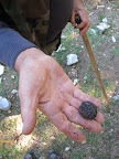 A truffle is an underground mushroom with unique taste and aroma that is sought after by many gourmands.  This truffle was found in the hills of Spoleto, Italy.