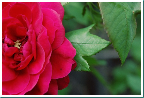 red explorer rose
