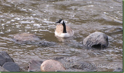 Suspiciously InquisitiveCanada Goose