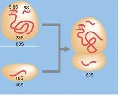 Eukaryotic ribosomes